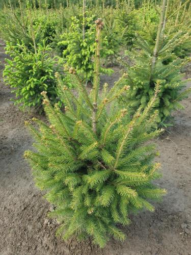 Picea-abies-1