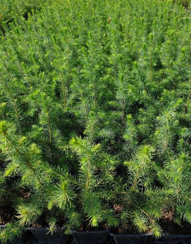 Picea-omorika-2