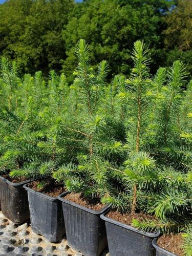 Picea-omorika