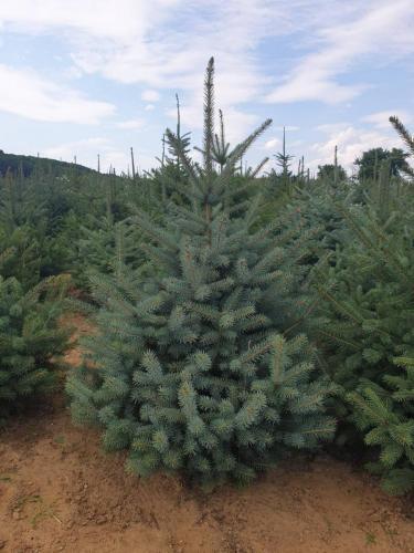 Picea-pungens- Glauca -2