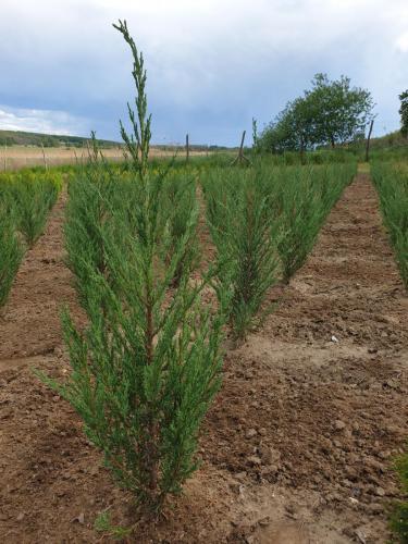 Juniperus-scopulorum-Blue-arrow