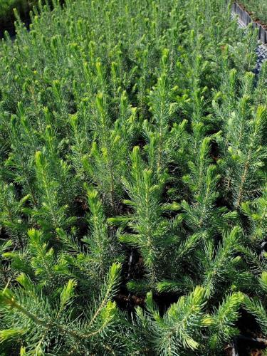 Picea-pungens- Glauca -4