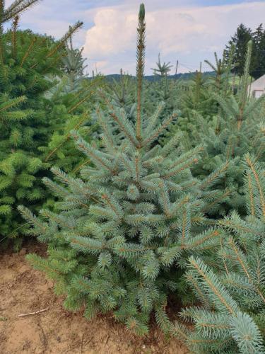 Picea-pungens- Glauca