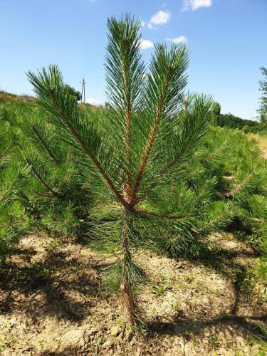 Pinus-nigra-2