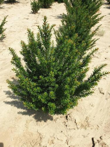 Taxus-baccata-3