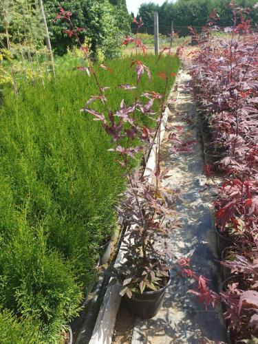 Acer-palmatum-'Atropurpurea'