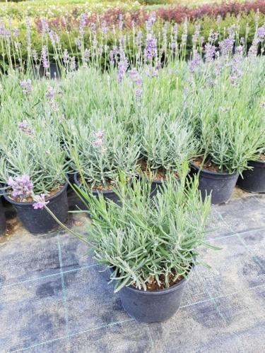 Lavandula-angustifolia-Dwarf-Blue-2