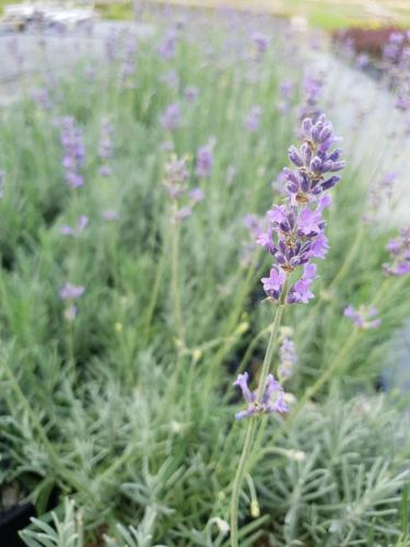 Lavandula-angustifolia-Dwarf-Blue-3