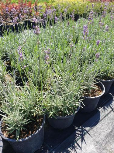 Lavandula-angustifolia-Dwarf-Blue