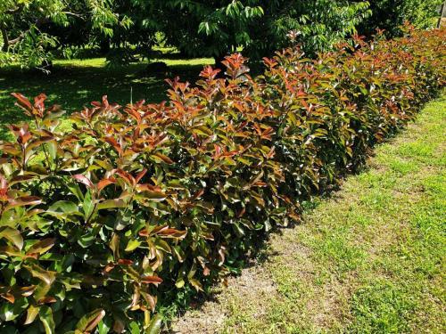 Photinia-fraseri- Red-Robin