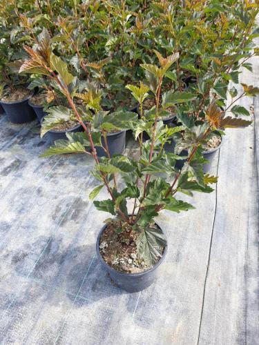Physocarpus-opulifolius-Red-Baron