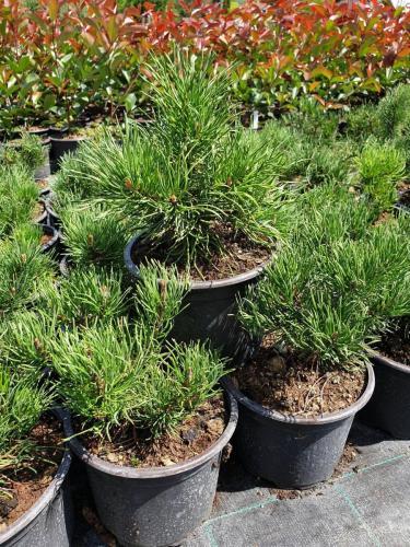 Pinus-mugo-var.-pumilio-2