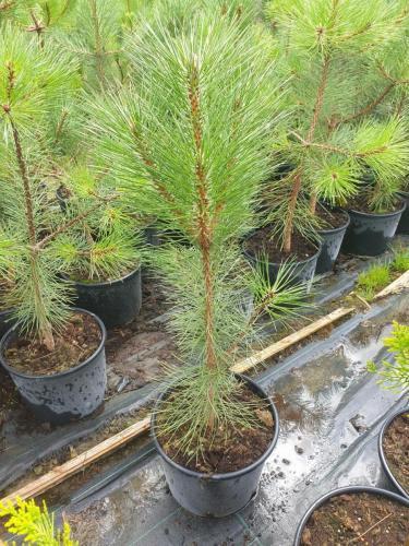 Pinus-nigra-Pyramidalis-K10-e1627373064377