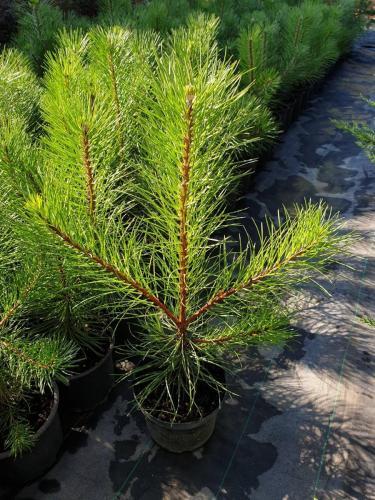 Pinus-nigra- Pyramidalis