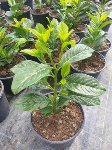 Prunus-laurocerasus- Novita -2