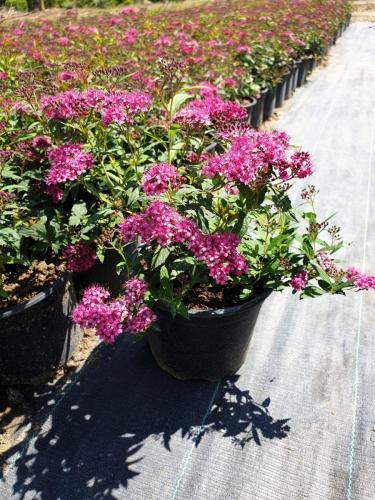Spiraea-japonica-'Anthony-waterer'-2