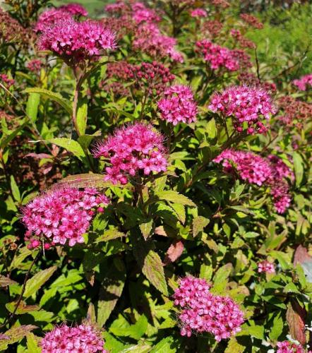 Spiraea-japonica-'Anthony-waterer'-3
