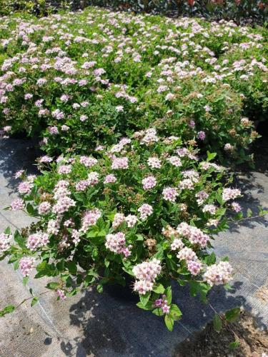 Spiraea-japonica-'Little-princess'-2