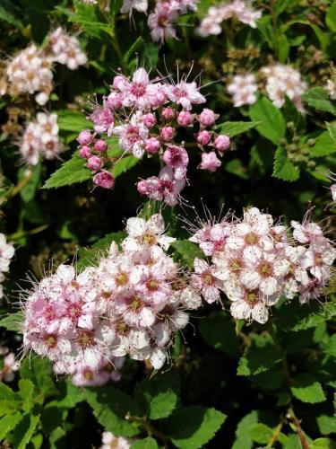 Spiraea-japonica-'Little-princess'